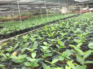 Bacoor City Town Farm Plants