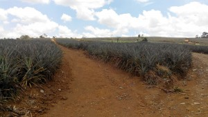 Mindanao (Bukidnon) Pineapple Plantation
