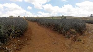 Mindanao (Bukidnon) Pineapple Plantation