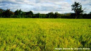 nueva ecija rice farm